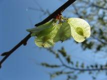Semi dell'albero di olmo su un ramo di albero in primavera fotografia stock libera da diritti