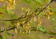 semi dell'Cenere-albero Immagini Stock Libere da Diritti