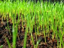 Semi dell'erba che germogliano macro Immagini Stock