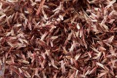 Semi dell'erba della palmarosa (martinii di Cymbopogon) Fotografia Stock Libera da Diritti