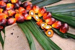 Semi dell'olio di palma Fotografie Stock