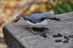 Semi dell'uccello della sitta Fotografie Stock