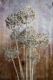 Semi della cipolla di un fiore Immagine Stock Libera da Diritti