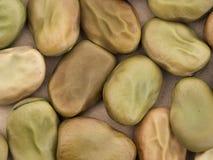 Semi della fava - varietà rossa del fiore Vicia faba Aka fava Immagine Stock