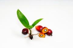 Semi della palma da olio Fotografia Stock