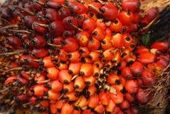 Semi della palma nell'azienda agricola Immagine Stock Libera da Diritti