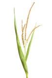 Semi della pianta di cereale fotografia stock libera da diritti