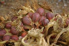 Semi della pianta della palma da sago immagini stock