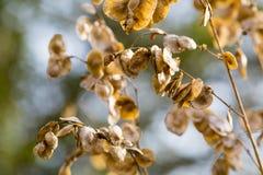Semi della pianta selvatica Fotografie Stock