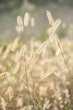 Semi della pianta selvatica, erbaccia, erba, campo, rurale, verticale, durante il tramonto Fotografie Stock