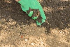 Semi della semina dei peperoncini di cayenna Immagine Stock Libera da Diritti