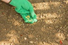 Semi della semina dei peperoncini di cayenna Fotografia Stock Libera da Diritti