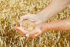 Semi della tenuta delle mani dell'uomo anziano sul giacimento di grano Immagini Stock Libere da Diritti
