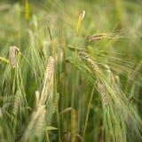 Semi di agricoltura Fotografie Stock