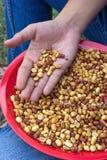Semi di cacao torrefatti Immagine Stock Libera da Diritti