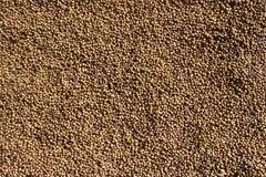 Semi di coriandolo secchi organici & x28; Sativum& x29 del Coriandrum; fondo del primo piano Immagini Stock