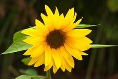 Semi di fiore Immagini Stock Libere da Diritti