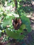 Semi di fiore della natura ha colore nero e marrone Fotografia Stock