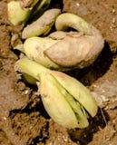 Semi di germinazione fotografia stock