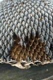 Semi di girasole Fotografie Stock Libere da Diritti