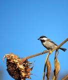Semi di girasole d'alimentazione dell'uccello fotografie stock