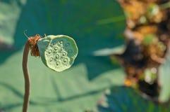Semi di Lotus Fotografia Stock Libera da Diritti