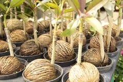 Semi di piantagione di alberi Immagine Stock