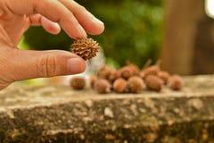 Semi di pino asciutti in mano della donna Fotografia Stock