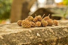 Semi di pino asciutti sul muro di cemento Fotografia Stock