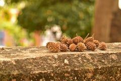 Semi di pino asciutti sul muro di cemento Immagine Stock