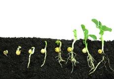 Semi di pisello di germinazione immagini stock