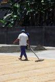 Semi di secchezza/grano del sole lavoratore/dell'agricoltore Immagine Stock Libera da Diritti