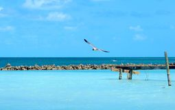 Lone Seagull gliding over shallow blue water. Semi-distant shot of a Seagull with spread wings gliding above the surface of a bright blue sea on a clear blue day Royalty Free Stock Images