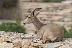 The semi domesticated goat Royalty Free Stock Photo