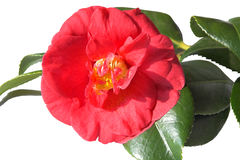 Semi double Camellia. Semi single red camellia with its own shiny green leaves. The extra petals surround the stamens Royalty Free Stock Photo