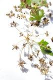 Semi e foglie del prezzemolo su fondo bianco fotografia stock