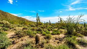 Semi el paisaje del desierto del parque de Reginal de la montaña de Usery con muchos Saguaru, Cholla y cactus de barril imagenes de archivo