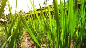 Semi freschi dei germogli sulla pianta di riso che cresce sul campo di risaia verde fertile video d archivio
