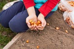 Semi freschi della cipolla sulle mani del bambino della ragazza sui letti in PS del giardino Fotografia Stock Libera da Diritti