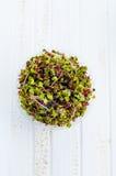 Semi germinati del ravanello fotografie stock libere da diritti