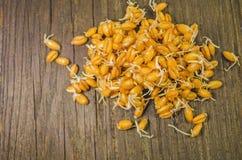 Semi germogliati del frumento Fotografie Stock