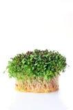 Semi germogliati dell'alfalfa Immagini Stock Libere da Diritti