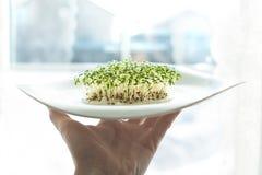 Semi germogliati lattuga del crescione del seme dei germogli verdi fotografia stock