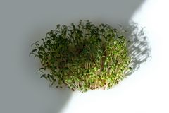 Semi germogliati lattuga del crescione del seme dei germogli verdi immagine stock libera da diritti