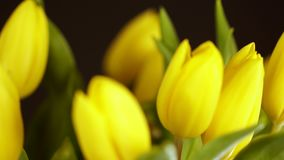 Semi-indistinct shot. Close up. Yellow tulip. tulip flower on black background. A bouquet of yellow tulips on a black. Yellow . tulip flower on black background stock video