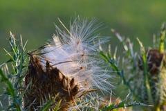 Semi lanuginosi che disperdono da una pianta del cardo selvatico fotografia stock libera da diritti