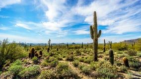 Semi le paysage de désert du parc de Reginal de montagne d'Usery avec des beaucoup Saguaru, Cholla et cactus de baril photos stock