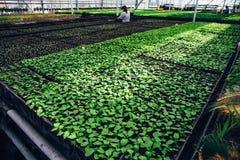 Semi moderni della serra o della serra, di coltivazione e di crescita delle piante ornamentali, scuola materna del fiore dentro l Fotografia Stock Libera da Diritti