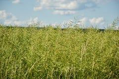 Semi non maturi della violenza Campo della colza verde di maturità isolata su un cielo blu nuvoloso nell'ora legale (brassica nap Fotografie Stock