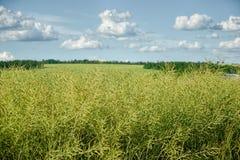Semi non maturi della violenza Campo della colza verde di maturità su un cielo blu nuvoloso nell'ora legale (brassica napus) Fotografie Stock Libere da Diritti
